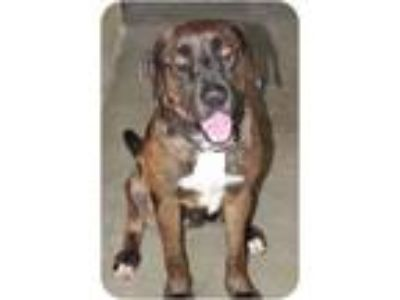 Adopt Patty a Brown/Chocolate - with White Catahoula Leopard Dog / Mixed dog in