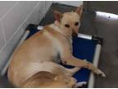 Adopt Goldie a Tan/Yellow/Fawn Labrador Retriever / Mixed dog in Georgetown