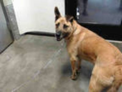 Adopt ASPEN a Brown/Chocolate - with Black German Shepherd Dog / Mixed dog in