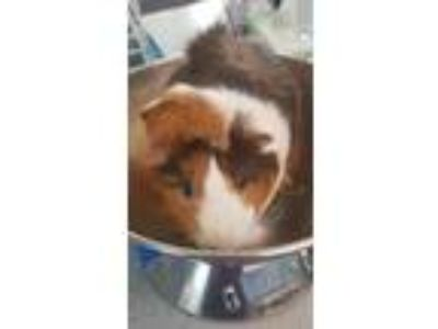 Adopt Uncle Lou a Brown or Chocolate Guinea Pig / Mixed small animal in