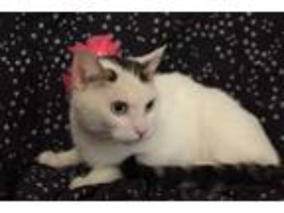 Adopt Santa Ana a White Domestic Shorthair / Mixed cat in Westmont