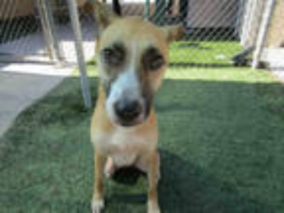 Adopt DIXIE LEE a Brown/Chocolate German Shepherd Dog / Mixed dog in Winter