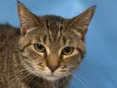 Adopt Cookie a Domestic Short Hair
