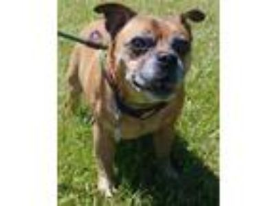 Adopt Peanut a Tan/Yellow/Fawn Jack Russell Terrier / Pug / Mixed dog in