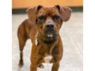 Adopt Martin a Red/Golden/Orange/Chestnut Boxer / Hound (Unknown Type) / Mixed