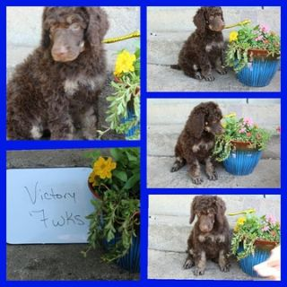 Poodle (Standard) PUPPY FOR SALE ADN-79321 - Brown Phantom Male Standard Poodles Champion Bred