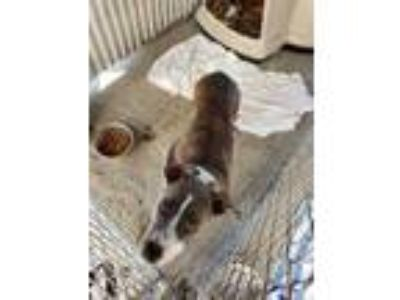 Adopt Copper Penny a Gray/Blue/Silver/Salt & Pepper Mixed Breed (Large) / Mixed
