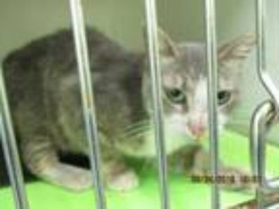 Adopt 41769258 a Gray or Blue Domestic Mediumhair / Domestic Shorthair / Mixed