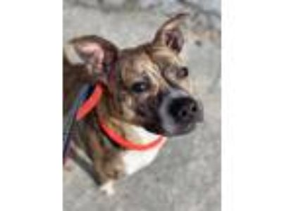 Adopt Phillipa (ACC) a Whippet, Greyhound