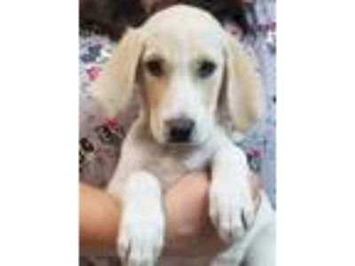 Adopt Lilly a Hound (Unknown Type) / Labrador Retriever / Mixed dog in Atlantic