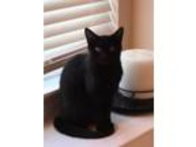 Adopt Ralph a All Black Domestic Shorthair / Mixed (short coat) cat in Florence