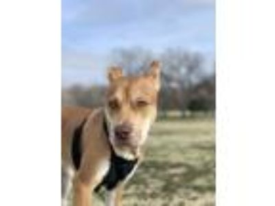 Adopt Milo a Tan/Yellow/Fawn - with White Labrador Retriever / American Pit Bull