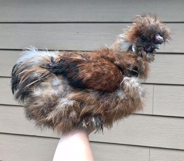 Showgirl silkie roo