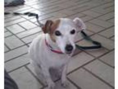Adopt Sandy a Jack Russell Terrier (Parson)