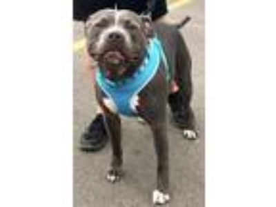 Adopt Otis *Loves to play!* a Gray/Silver/Salt & Pepper - with White Pit Bull