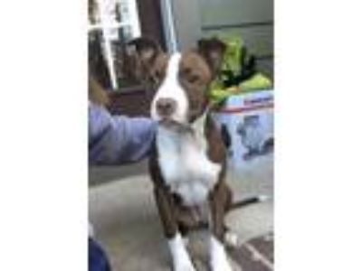 Adopt Jozie a Brown/Chocolate - with White Rat Terrier / Miniature Pinscher dog