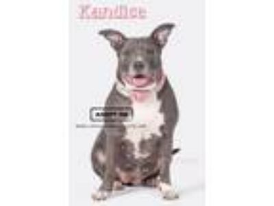 Adopt Kandice a American Staffordshire Terrier, Pit Bull Terrier