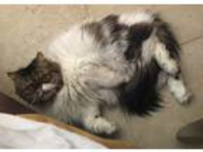 Adopt Chauncey a Calico or Dilute Calico Persian / Mixed cat in La Quinta