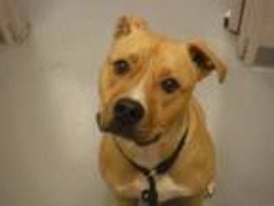 Adopt DAISY a Boxer, Pit Bull Terrier