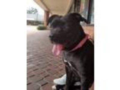 Adopt Madame Squish a Black American Pit Bull Terrier / Mixed dog in St.
