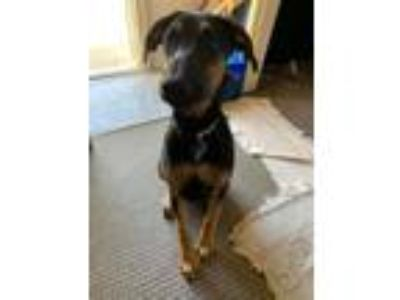 Adopt Spanky a German Shepherd Dog, Doberman Pinscher