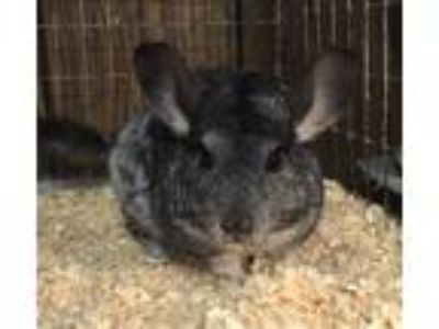 Adopt Jewell a Chinchilla small animal in Hammond, IN (25930421)