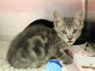 Adopt ROLAND a Gray or Blue Domestic Shorthair / Mixed (short coat) cat in San