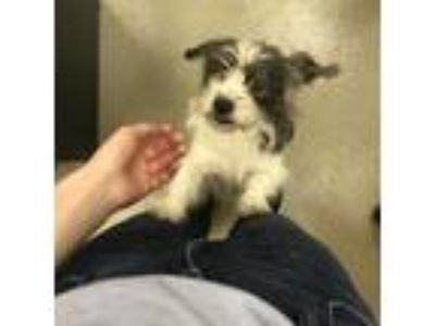 Adopt Sailor a White - with Tan, Yellow or Fawn Rat Terrier / Shih Tzu dog in