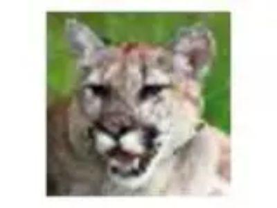 Creature Encounters - Cougar