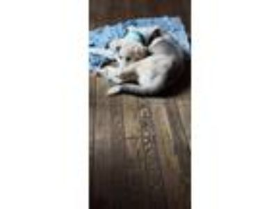 Adopt Blue a White - with Gray or Silver Great Pyrenees / Husky / Mixed dog in