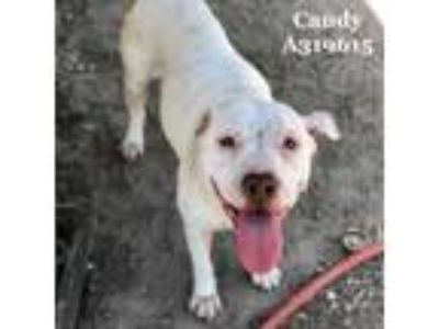 Adopt a White American Pit Bull Terrier / Mixed dog in Conroe, TX (25446757)