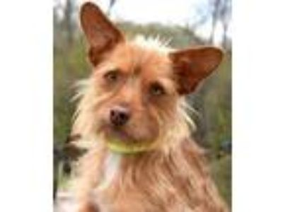 Adopt Todd a Terrier, Wirehaired Terrier