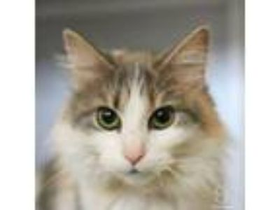 Adopt Tish a Domestic Medium Hair, Domestic Short Hair