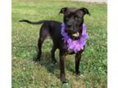 Adopt Nadine a Black - with White Boxer / Mixed dog in Lexington, NC (25656121)