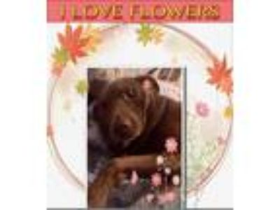 Adopt Mocha a Brown/Chocolate Labrador Retriever / Mixed dog in Manhasset