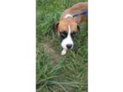 Adopt Ronald a Boxer / Labrador Retriever / Mixed dog in Batesville