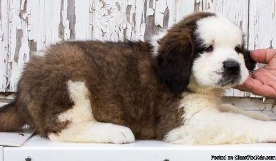 VBHBGYUN Saint Bernard puppies