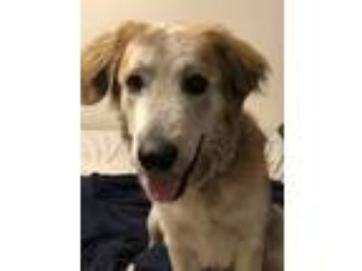 Adopt Willie a Tricolor (Tan/Brown & Black & White) Collie / Shepherd (Unknown