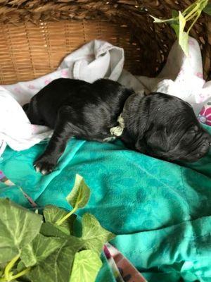 Saint Berdoodle PUPPY FOR SALE ADN-87660 - St Berdoodle Puppies