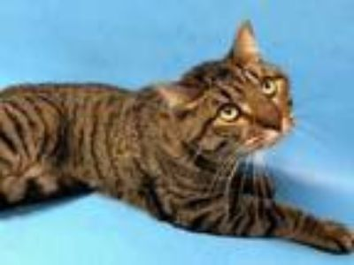 Adopt Lou a Brown or Chocolate Domestic Shorthair / Mixed cat in Golden Valley
