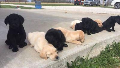 Labrador Retriever PUPPY FOR SALE ADN-72863 - Black and Yellow Labrador Puppies