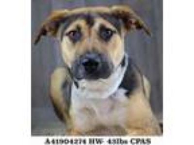 Adopt Anemone a Black Shepherd (Unknown Type) / Mixed dog in Shreveport