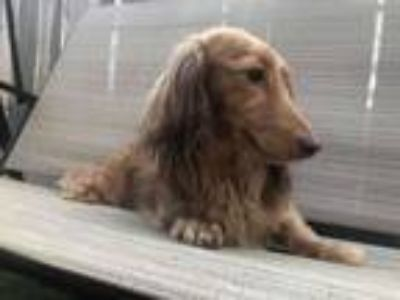 Adopt Sophie (Northern California ONLY) a Dachshund
