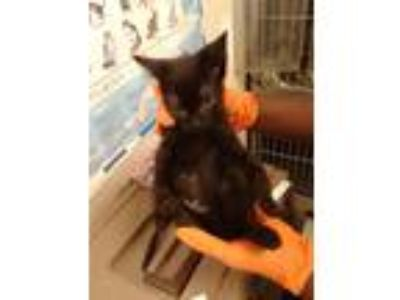 Adopt Lewis (SWAC) a Domestic Shorthair / Mixed (short coat) cat in Albany