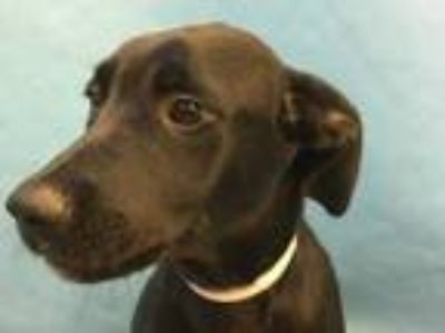 Adopt Wendi a Black Labrador Retriever / Mixed dog in Coon Rapids, MN (25561688)