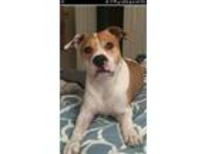 Adopt FRITO a Tan/Yellow/Fawn - with White American Pit Bull Terrier / Labrador