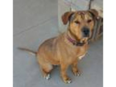 Adopt Molly a Brown/Chocolate Terrier (Unknown Type, Medium) / Mixed dog in