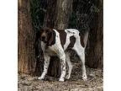 Adopt DARLA a German Shorthaired Pointer