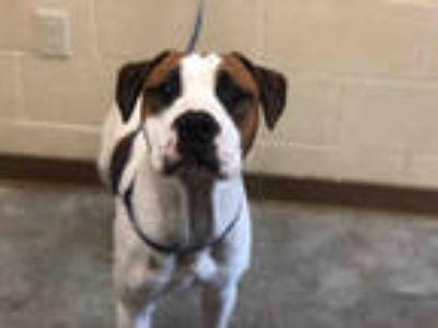 Adopt HOOCH a White - with Brown or Chocolate Boxer / Mixed dog in Texas City