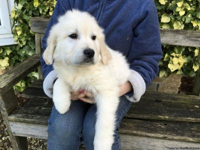 Top Quality Kc Reg Golden Retriever Puppies Ready
